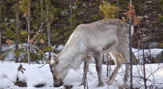 1-peuple-sami-le-renne