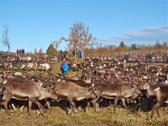 laponie-automne-rassemblement-rennes