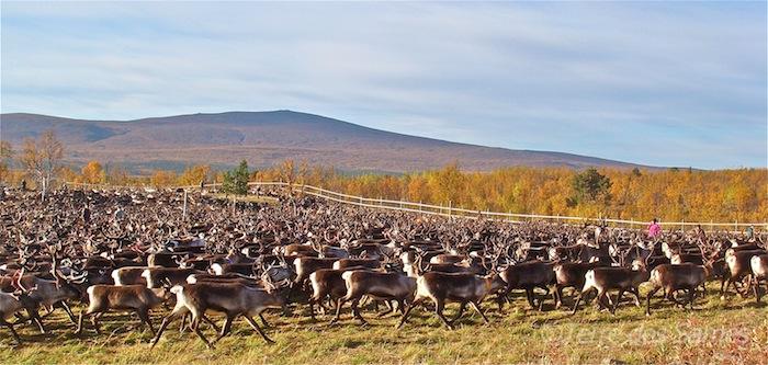 Laponie suédoise, tri des rennes en automne