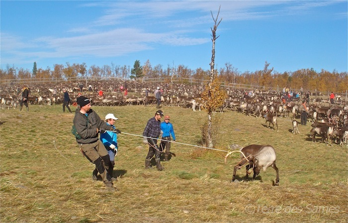 Laponie suédoise, renne au lasso