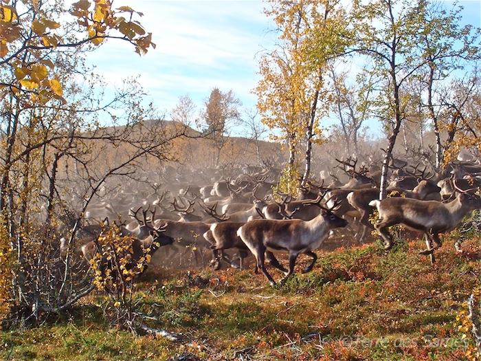 Laponie suédoise, le tri des rennes est terminé, c'est le retour à la liberté