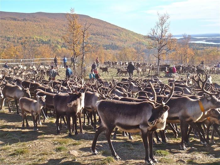 Laponie suédoise, tri des rennes et couleurs d'automnes