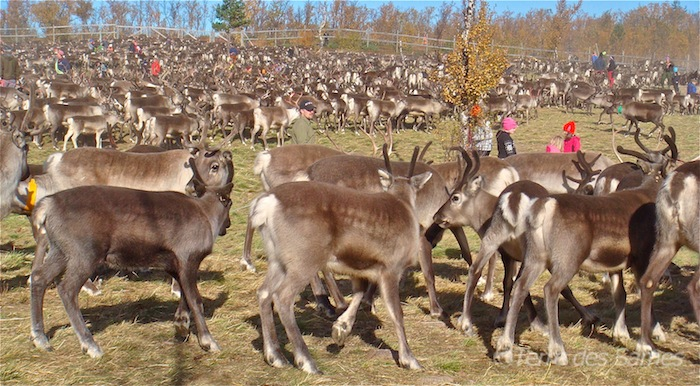 Rassemblement de rennes en Laponie suédoise