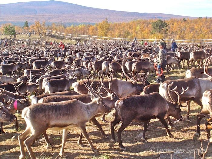 Laponie suédoise, tri des rennes en automne, un Sámi est prêt à lancer son lasso