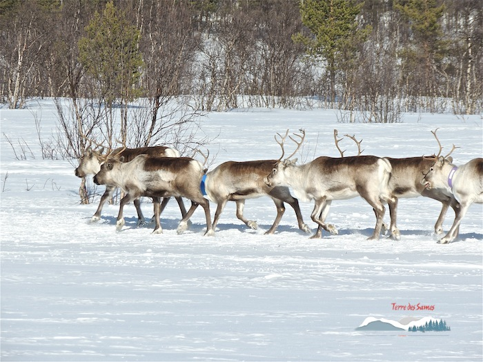 Migration des rennes, Kiruna, Terre des Sames