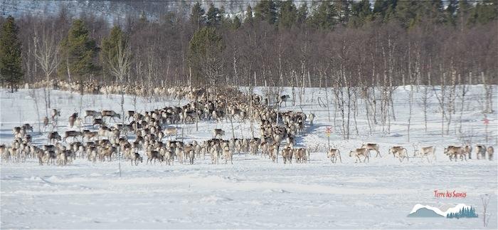 Le troupeau s'est regroupé et repart, migration des rennes, Terre des Sames, Kiruna