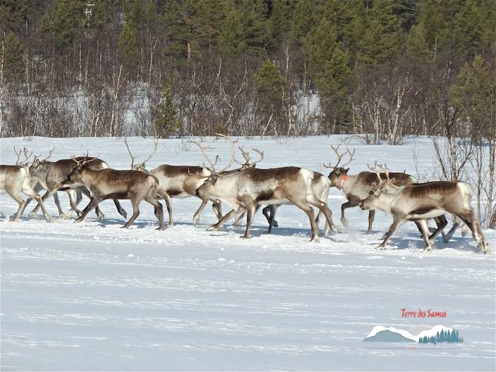 Migration des rennes, une file interminable, en route vers les montagnes, Kiruna, Terre des Sames