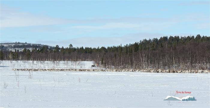 La migration des rennes, Kiruna, Laponie suédoise, Terre des Sames