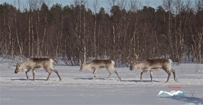 Migration des rennes, fin du troupeau avec les plus fatigués, Kiruna, Terre des Sames