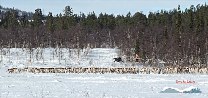 La migration des rennes, Kiruna, Laponie suédoise