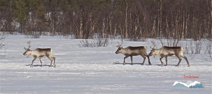 La migration des rennes, Kiruna, Terre des Sames