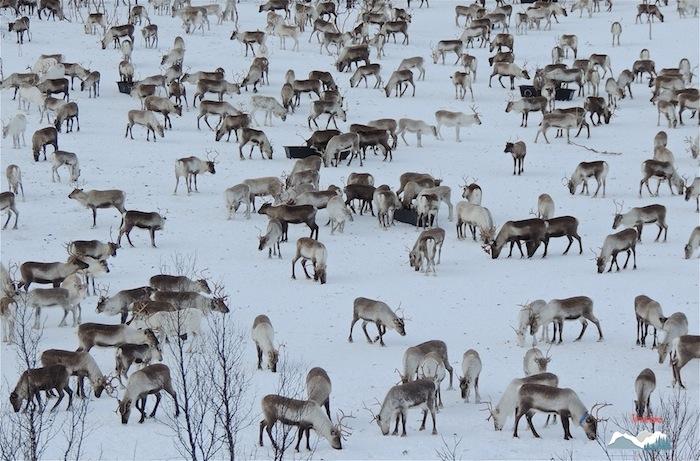 Un troupeau de rennes qui n'aurait pas passé l'hiver sans une aide alimentaire.